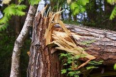 A broken tree in half. Stock Photos