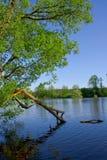 Broken tree has bent over water. Royalty Free Stock Images