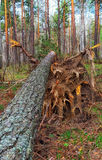 Broken tree. After high winds knocked down trees Royalty Free Stock Photo