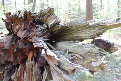 Broken Tree. A broken tree inside of a forest Royalty Free Stock Images