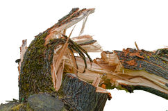 Broken tree isolated. Broken tree on white background Stock Image
