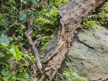 Broken Tree lumber in the way to the top of Khao Luang mountain in Ramkhamhaeng National Park. Sukhothai province Thailand stock photography