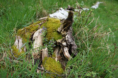 Broken Tree. Moss and flower covered tree stump Royalty Free Stock Photography