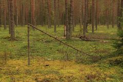 Broken tree in the forest. A broken tree in a pine forest Royalty Free Stock Photos