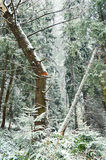 Broken tree in pine forest. Broken tree in coniferous forest at winter stock photos