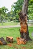 Close up broken tree. Broken tree in public park Stock Photography