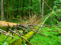 Broken tree roots in Bialowieza primeval forest Stock Image