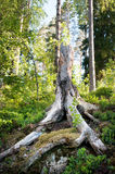 Broken tree with roots in forest. Karelia, Russia Royalty Free Stock Images
