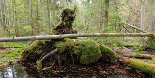 Broken tree roots partly declined Royalty Free Stock Photography