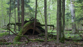 Broken tree roots partly declined against forest background Royalty Free Stock Photography