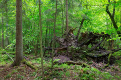 Broken tree roots partly declined Royalty Free Stock Image