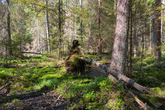 Broken tree roots partly declined inside coniferous stand Stock Images