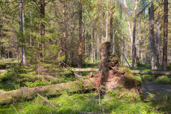 Broken tree roots partly declined inside coniferous stand Stock Photos
