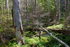 Broken tree roots partly declined inside coniferous stand Stock Image