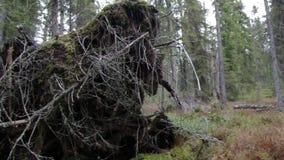 Broken tree roots stock footage