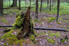 The broken tree in the Russian taiga. Stub stock photography