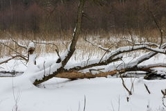 Broken tree snow wrapped in meadow Royalty Free Stock Image