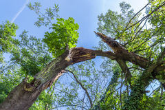 Broken tree. Storm damage. Broken tree in the forest Royalty Free Stock Image
