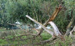 Broken tree after the storm Stock Photo