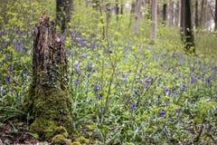Broken Tree Stump Royalty Free Stock Image
