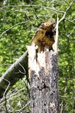 Broken tree. In the summer in the sun Stock Image