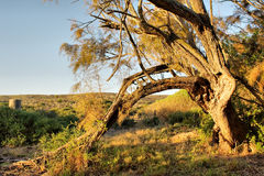 Broken tree in sunset light. Shot in West Coast Nature Reserve, near Langebaan, Western Cape, South Africa Royalty Free Stock Images