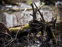 Broken tree swamp Royalty Free Stock Image