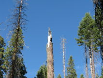 Broken tree top. A broken sequoia tree top as seen in the Yosemite forest of June 2014 Royalty Free Stock Photo