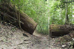 Broken tree on the trail. In jungle Royalty Free Stock Photo