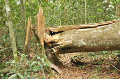 Broken tree in tropical forest Royalty Free Stock Photo