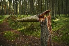 Broken tree trunk in pine forest. Broken tree trunk in autumn pine forest royalty free stock photos