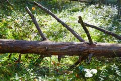 Broken tree trunk on the ground. Fallen tree in forest. In a summer, spring or autumn day royalty free stock photos