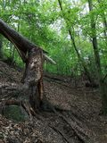 Broken tree trunk in the Loket forests stock image