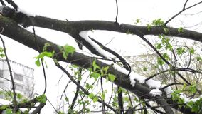 Broken tree under snow in spring. Time stock footage