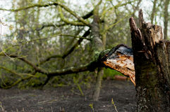 Broken tree. A broken tree from the wind Stock Images