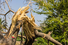 The broken tree. In wood Stock Photography