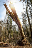 Broken tree in the woods. Storm Damage Royalty Free Stock Photo