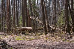 Broken trees. In forest after storm Royalty Free Stock Photo