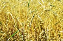 Broken wheat ear stock photos