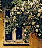 A broken window in an old abandoned house and white roses. Stock Photography