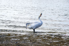 Free Broken Wing Swan Stock Photo - 65649190