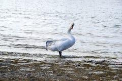 Broken wing swan Stock Photo