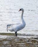 Broken wing swan Stock Photos