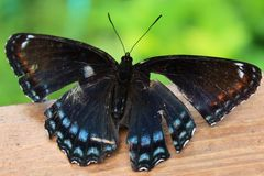 Broken Winged Butterfly. A butterfly with broken wings perches on a fence Stock Images