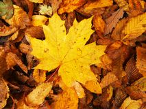 Broken yellow maple  leaf on orange beeches leaves ground. Vivid autumn colors. Stock Photos