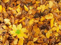 Broken yellow maple  leaf on orange beeches leaves ground. Vivid autumn colors. Royalty Free Stock Image