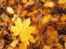 Broken yellow maple  leaf on orange beeches leaves ground. Vivid autumn colors. Stock Images