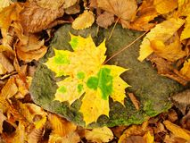 Broken yellow maple  leaf on orange beeches leaves ground. Vivid autumn colors. Broken yellow maple leaf on orange beeches leaves ground. Autumn colors Royalty Free Stock Image