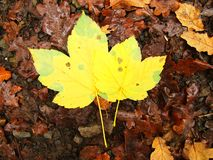 Broken yellow maple  leaf on orange beeches leaves ground. Vivid autumn colors. Broken yellow maple leaf on orange beeches leaves ground. Autumn colors Stock Photography