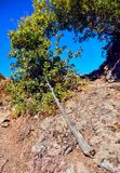 Broken young tree. On a rocky pathway under the summer sun and blue sky Royalty Free Stock Photos